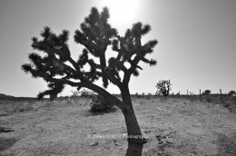 Joshua Tree on I-15