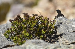 Lizard at Cape Point