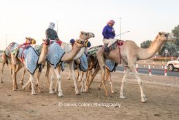 Camels getting ready to race at the Al Marmoom racing track, outside Dubai, UAE