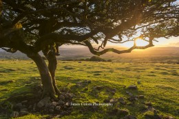 Tree on Dartmoor at sunset, UK