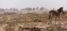 Herd of wilderbeest migrating to waterhole while zebra watches, at Etosha National Park
