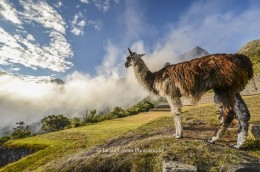 Llama looking out at the morning fog, Peru