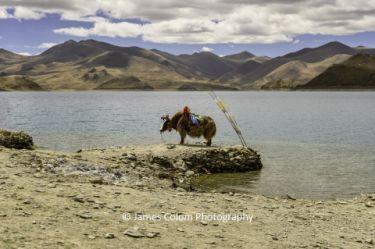 Yak on Lake Yamdrok (Yamzho Yumco), Tibet, China