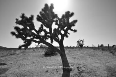 Joshua Tree on I-15
