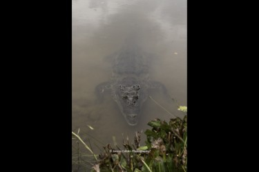Hungry freshwater crocodile
