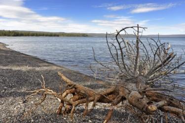 Yellowstone: Tree by Lake Yellowstone