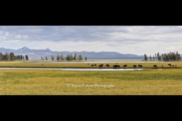 Yellowstone: Bison Grazing in Yellowstone