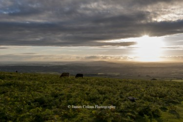 Cows grazing on Dartmoor before sunset, England