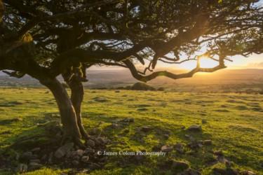 Tree on Dartmoor at sunset, UK