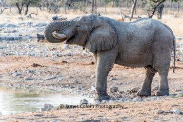 Elephant drinking at Okaukuejo waterhole, Etosha National Park