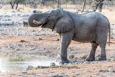 Elephant drinking at Okaukuejo waterhole, Etosha National Park