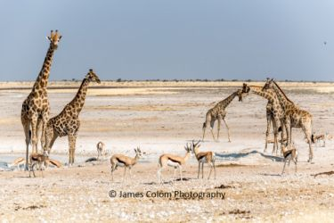 Giraffe and springbok drinking at the salt pan, Etosha National Park