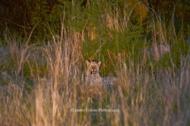 Leopard in the tall grass at dusk