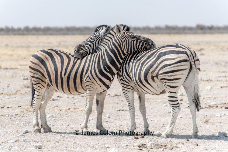 Hugging Zebra in Etosha National Park, Namibia
