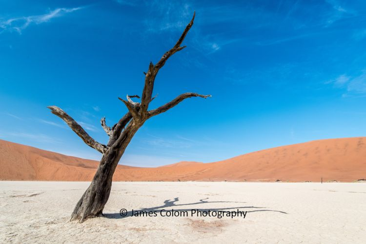 Leaning camel thorn tree at Sossussvlei, Namibia