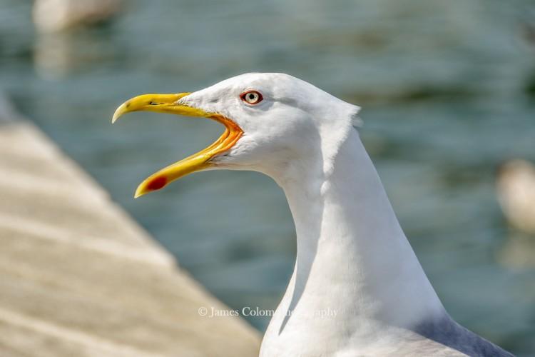 Barcelona Seagull