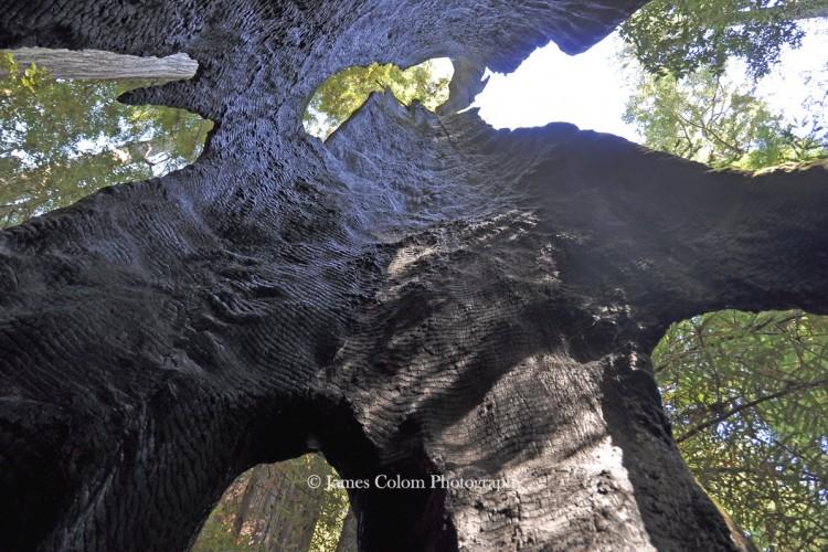 Inside a Dead Sequoia