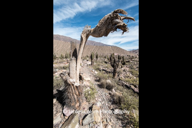 Dead Cactus trunk at Pucara de Tilcara, Jujuy, Argentina