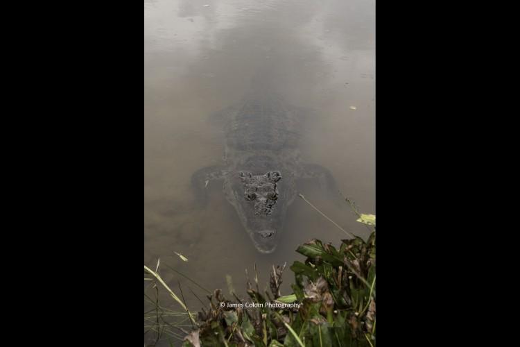 Hungry freshwater crocodile