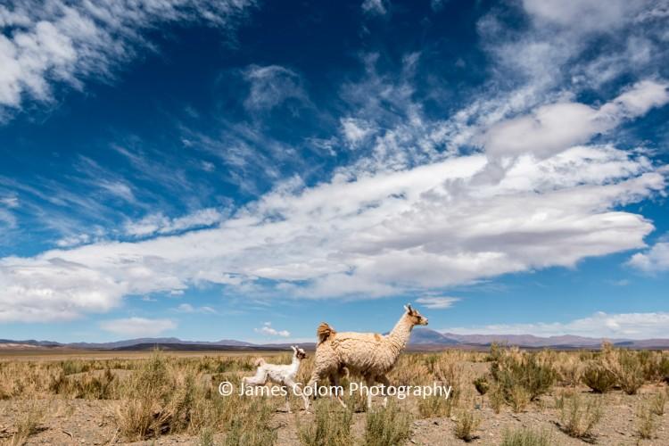 Llama and baby on Altiplano, Jujuy, Argentina