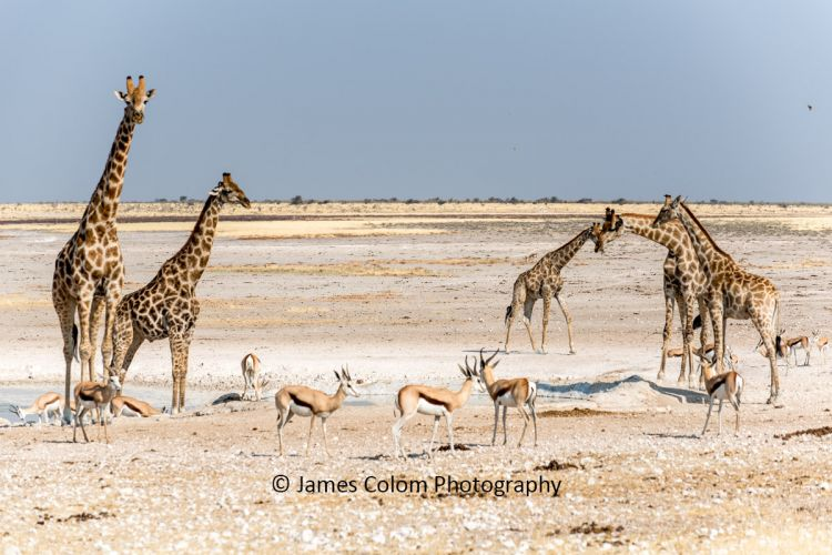 Giraffe and springbok drinking at the salt pan, Etosha National Park