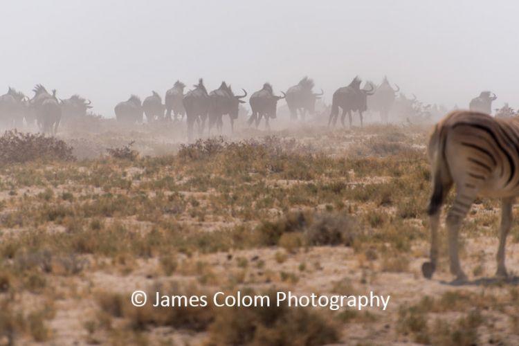 Herd of wilderbeest migrating to waterhole while zebra watches, at Etosha National Park