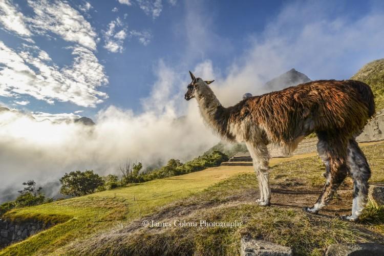 Llama looking out at the morning fog, Peru