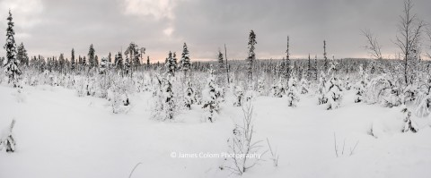 Arctic Forest near Kiruna in Swedish Lapland, Sweden